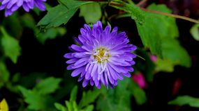 Violet Aster Flower vibrante imágenes de archivo libres de regalías