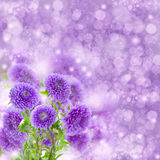 Violet  aster flowers on bokeh background Royalty Free Stock Photos