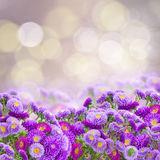 Violet aster flowers Royalty Free Stock Images