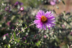 Violet aster flowers in september. Violet aster flowers on meadow Royalty Free Stock Photo