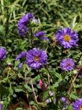 Violet Aster Flowers vibrante imágenes de archivo libres de regalías