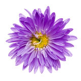 Violet aster isolated Stock Images