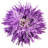 Violet aster isolated Royalty Free Stock Images