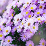 Violet Asters Stock Photography