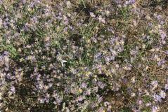 Violet Asters-Blühen Stockbilder