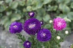 Violet Asters blommar, och en rosa aster växer i trädgården, överkant Royaltyfri Foto