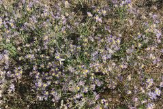 Violet Asters blooming stock images