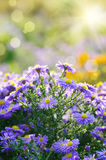 Violet asters flowers Stock Images