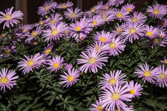 Violet asters flowers. With leaves Royalty Free Stock Photography
