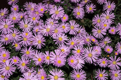 Violet asters flowers with leaves. Violet asters flowers green background Stock Image