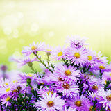 Violet Asters Royalty Free Stock Photo