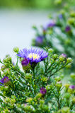 Violet Asters Royalty Free Stock Image