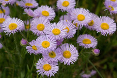 Violet asters grow in a meadow Royalty Free Stock Photos