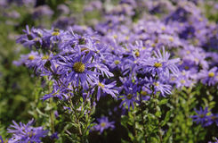 Violet Asters Stock Images