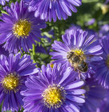Violet autumn aster with bee Royalty Free Stock Image