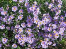 Violet autumn astra. Violet small flowers perennial shrub autumn asters Stock Photos