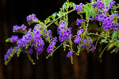 Violet autumn flowers Stock Photography