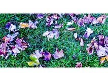 Violet Autumn Royalty Free Stock Photography
