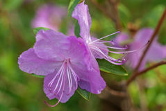Violet Azalea Flower Mooie Macroclose-upfoto Royalty-vrije Stock Afbeeldingen