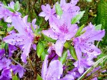 Violet azalea. Fresh blossom of violet azalea after rain Royalty Free Stock Images