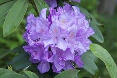 Violet azalea. Rhododendron bush in garden. Beautiful flowers. Beautiful spring flowers royalty free stock photography