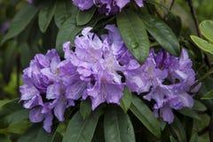 Violet azalea. Rhododendron bush in garden. Beautiful flowers. Details of spring plants stock image