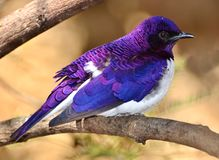 Violet-backed Starling - Amethyst Starling Cinnyricinclus leucogaster Stock Photos