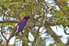 Violet-backed starling (Cinnyricinclus leucogaster Royalty Free Stock Photo