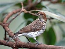 Violet-backed starling (cinnyricinclus leucogaster) Royalty Free Stock Image