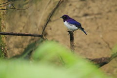 Violet-backed starling. The male of violet-backed starling sitting on the branch Stock Photo