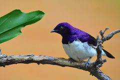 Violet-backed Starling. A small bird with brilliant purple feathers, native to Eastern and Central Africa, on display at the Toledo Zoo in Ohio Royalty Free Stock Image