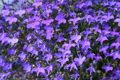Violet background. Blooming violets background, violet wallpaper Stock Images