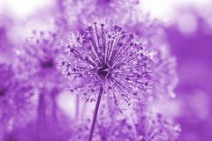 Violet Background With Allium Flower Royalty Free Stock Images