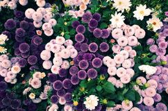 Violet ball-shaped Flowers. Top view of many small flowers, Pompon Mum, in violet, ultra violet, pink, white, etc stock photo