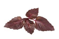 Violet basil Royalty Free Stock Images