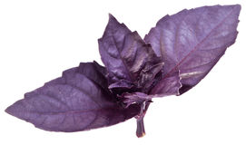 Violet basil leaves isolated on a white. Stock Image