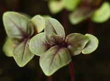 Violet basil seedlings, close-up Royalty Free Stock Image