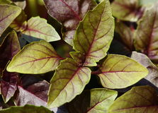 Violet basil seedlings, close-up Royalty Free Stock Photos