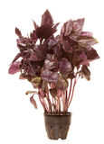 Violet basilic plant Stock Photography