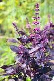 Violet basilicum Royalty-vrije Stock Afbeeldingen