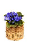 Violet in basket Stock Images