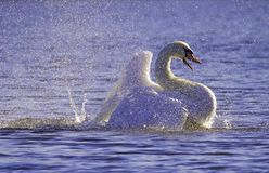 Violet Bathing Swan royalty free stock photos