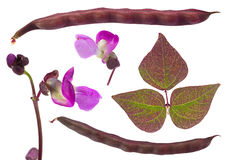 Violet bean leaf on white Stock Images