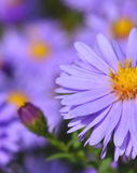 Violet beautiful aster blooming in the garden Royalty Free Stock Photos
