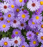 Violet beautiful aster blooming in the garden Royalty Free Stock Image