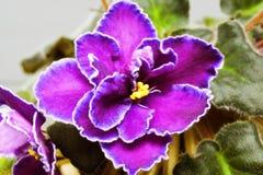Violet Royalty Free Stock Photo