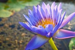 Lotus. Violet beautiful lotus flower in a pool Royalty Free Stock Images