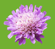 Violet beautiful meadow flower on green background Royalty Free Stock Photo