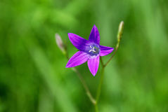 Violet bellflower on the backgroung of a green meadow Stock Images