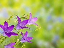 Violet bellflower on the green background Royalty Free Stock Images